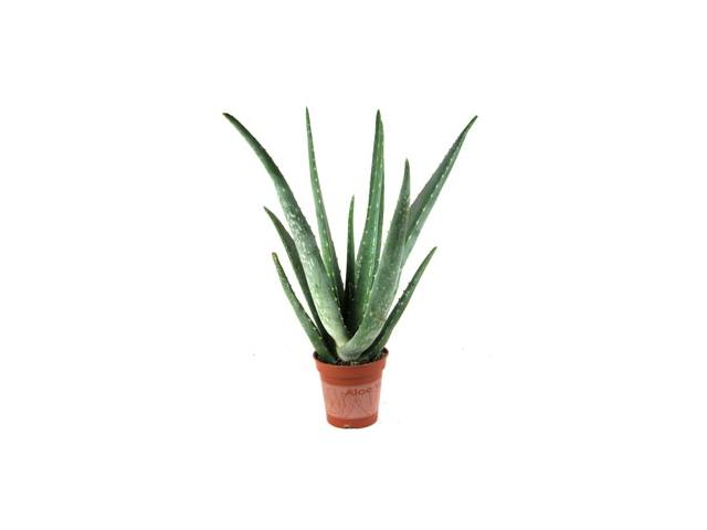 A typical aloe vera pot plant